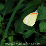 butterfly_stlucia_kayak_safari_south_africa (1 of 1)