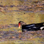 common moorhen ssp meridionalis, ds227-1820x