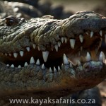 south_africa_crocodile_st_lucia_lacey_kayak_safari_adventure