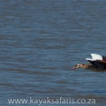 whistlingduck_stlucia_south_africa_kayak_safari